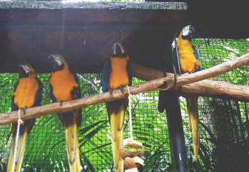 macaws1
